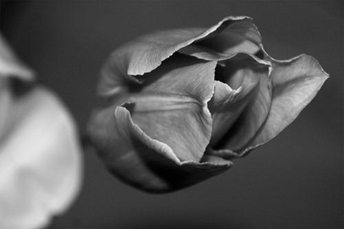 Tulpe in schwarz / weiß