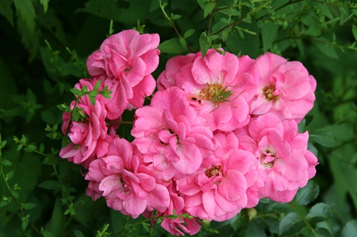 Blüte (grün-rosa-grün)